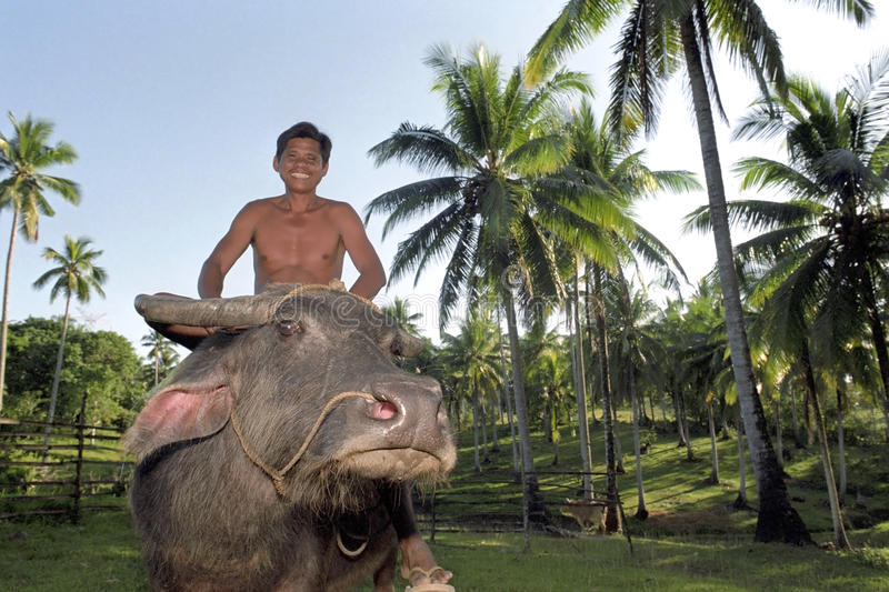 Filipino man riding a water buffalo, Philippines. Philippines: portrait of laughing farmer riding on his beast of burden, domestic Asian water buffalo, in the stock photo