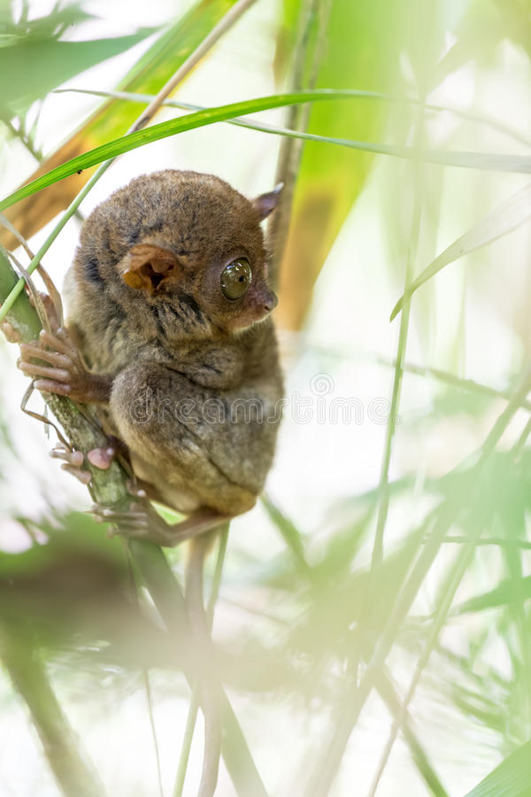 Filipino Tarsier. The Filipino Tarsier is the smallest primate living on earth, here it's standing on a bamboo tree in Philippines stock photos