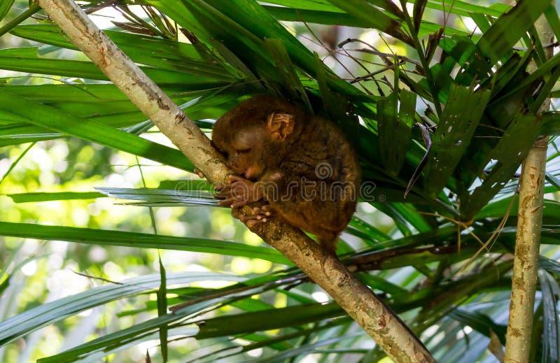 Filippijnse meer tarsier slaap in een boom stock afbeelding