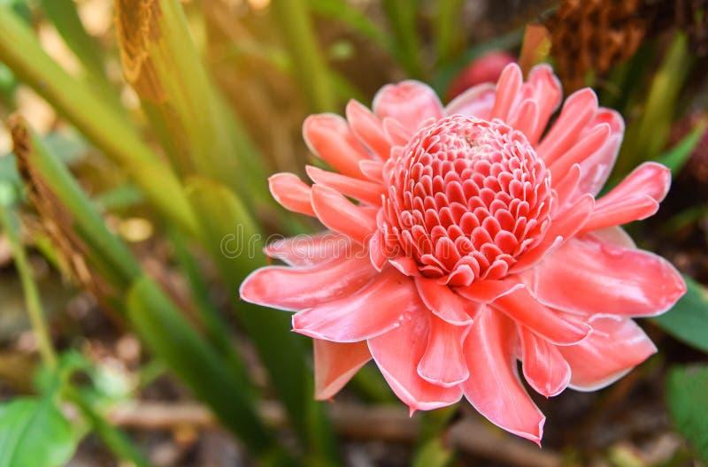 Filippinsk blomma arkivfoto