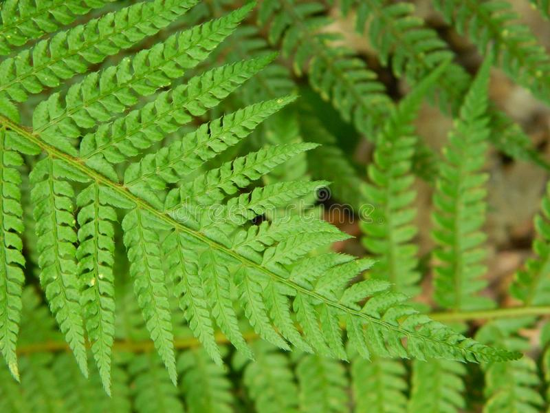 Filix-mas do Dryopteris, close up imagem de stock