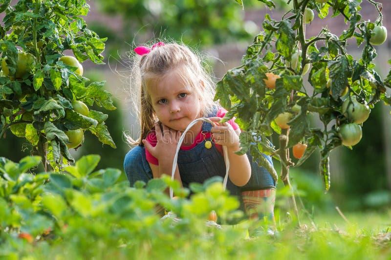 Fille de Lttle rassemblant des tomates de culture dans le jardin image libre de droits
