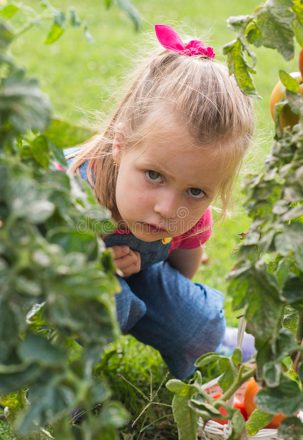 Fille de Lttle rassemblant des tomates de culture dans le jardin photo libre de droits