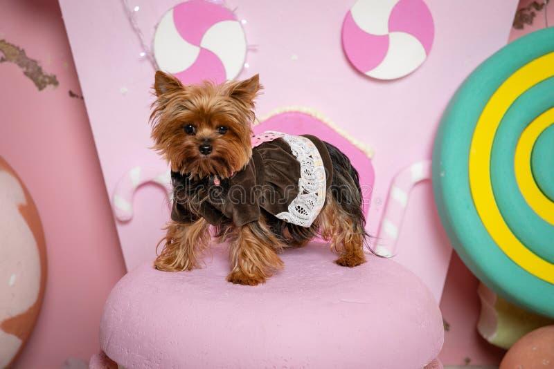 Fille de Yorkshire Terrier Dans des vêtements de chien sur le rose et des supports jaunes de macarons sur le fond d'une maison ro photo stock