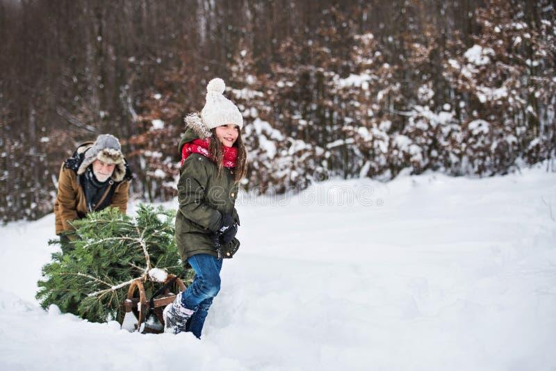 Fille première génération et petite obtenant un arbre de Noël dans l'espace de copie de forêt image libre de droits