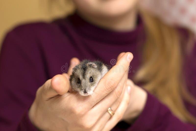 Fille tenant un hamster minuscule et beau photos stock
