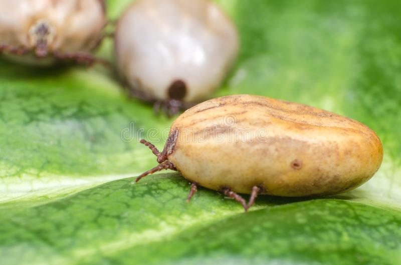 Filled with blood the tick sits on a green leaf royalty free stock image