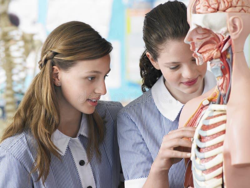 Filles examinant le modèle anatomique images libres de droits