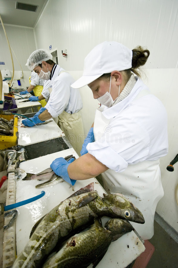 Filleting cod. Portrait of four fish cutters working in a fish processing factory. They are cleaning and making cod fillets. The image is part of Fish Processing stock images
