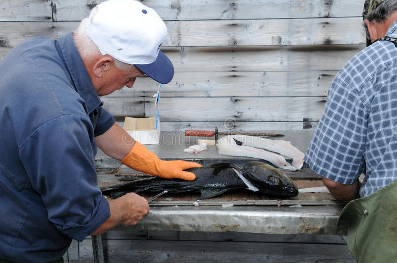 Filleting codfish. Two fishermen cleaning and filleting freshly caught cod, Newfoundland royalty free stock image