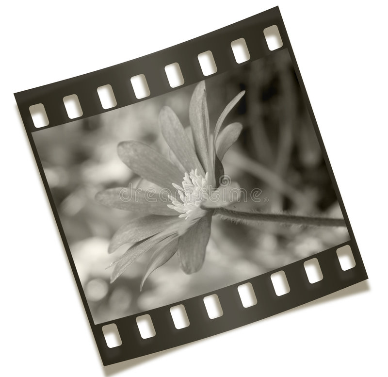 Filmstrip Flower Negative. Photography - Filmstrip Flower Negative Isolated on White Background stock image