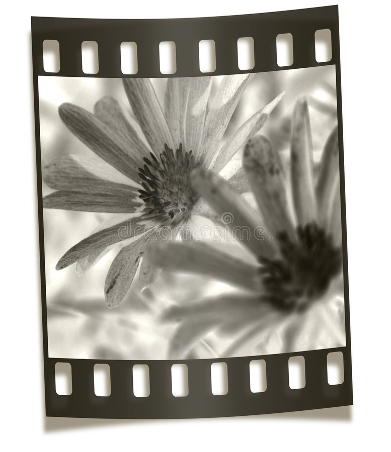 Filmstrip Negative - Flower Macro. Filmstrip Negative Illustration - Flower Macro stock photo