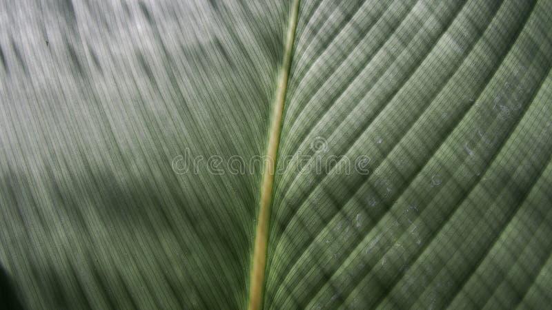 Filodendronu liść jest Błyszczącym lampasem zdjęcia stock