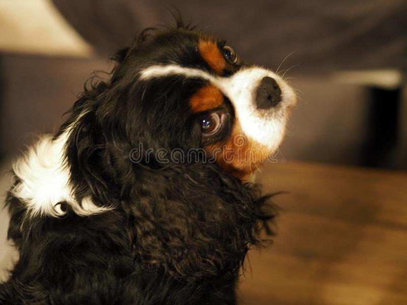 Expressive look of a Cavalier King Charles tricolor royalty free stock photography