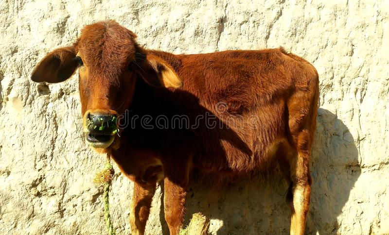 Fils de vache photographie stock