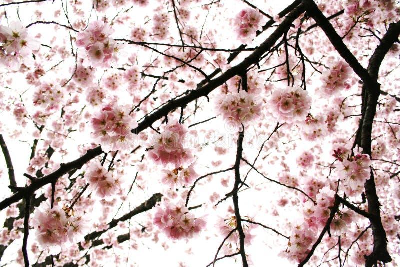 filten blomstrar Cherryet arkivfoto