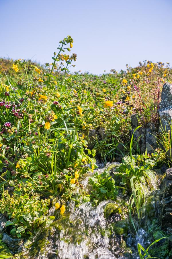 Filtra il fiore della scimmia (guttatus di Mimulus) che fiorisce sulle rive di un'insenatura, la riserva ecologica della montagna fotografia stock libera da diritti