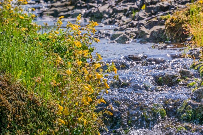 Filtra il fiore della scimmia (guttatus di Mimulus) che fiorisce sulle rive di un'insenatura, la riserva ecologica della montagna fotografia stock
