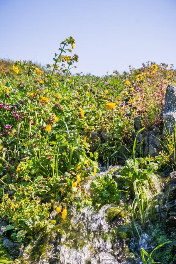 Filtrent la fleur de singe (guttatus de Mimulus) fleurissant sur les rivages d'une crique, réservation écologique de montagne du  photographie stock libre de droits