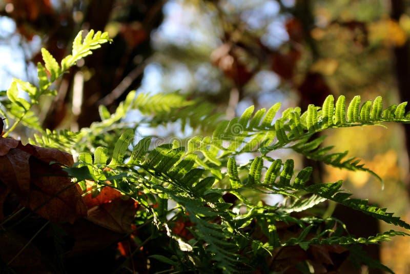 Filtrer léger à l'aide des feuilles riches en spore de cette fougère image libre de droits