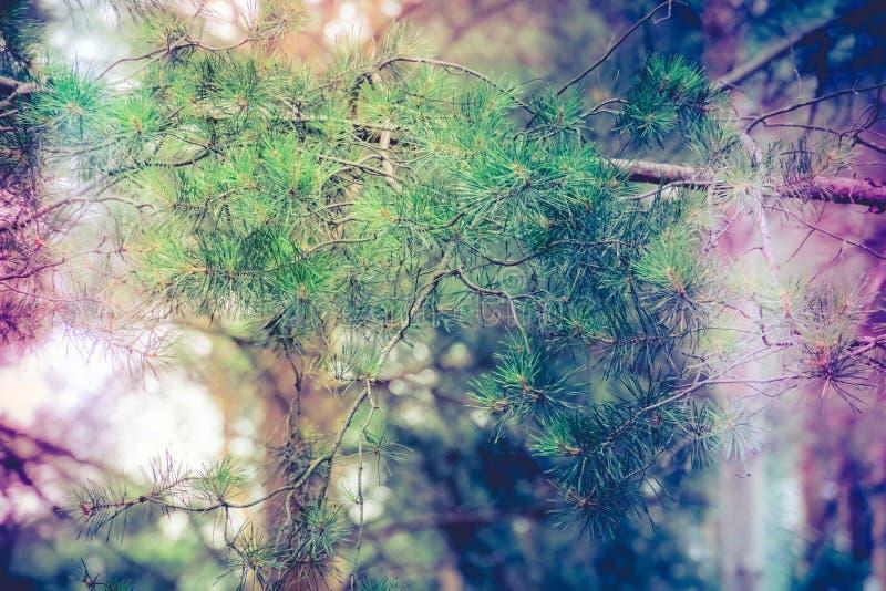 Filtrerad grön pinjeskog royaltyfria bilder