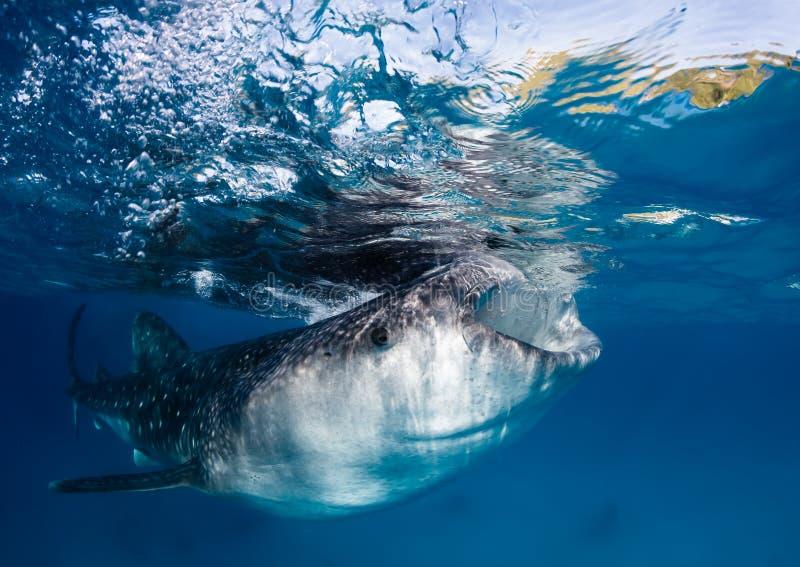 Filtro dallo squalo balena che si alimenta alla superficie dell'oceano fotografia stock