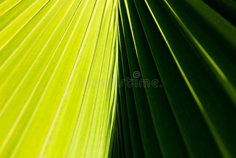 Fim abstrato acima de uma folha da palmeira com o contraste claro e escuro - lados verdes e linhas diagonais que vêm do centro fotografia de stock