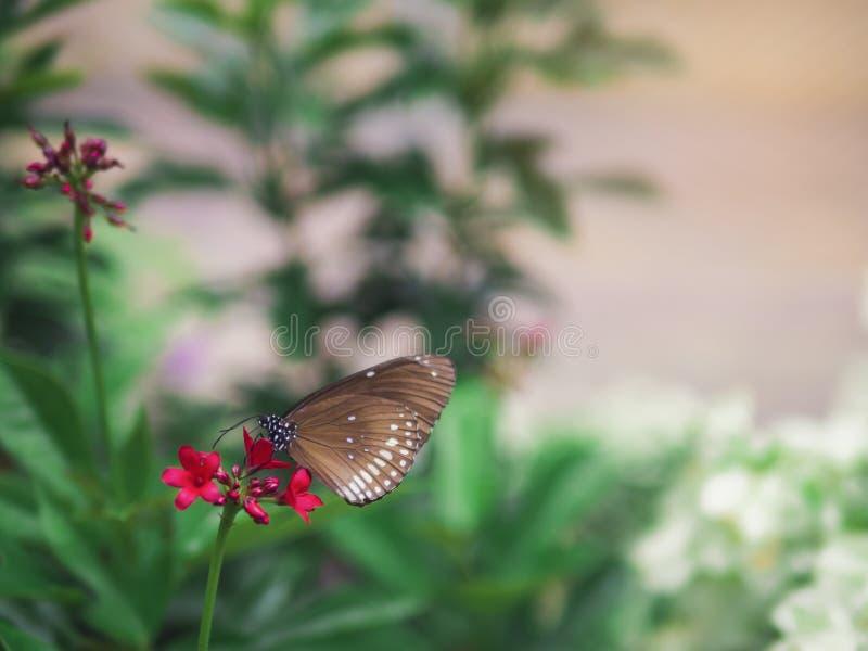 Fim acima borboleta marrom do bremeri preto manchado do crameri de Euploea do corvo na flor vermelha com fundo verde do jardim imagem de stock royalty free