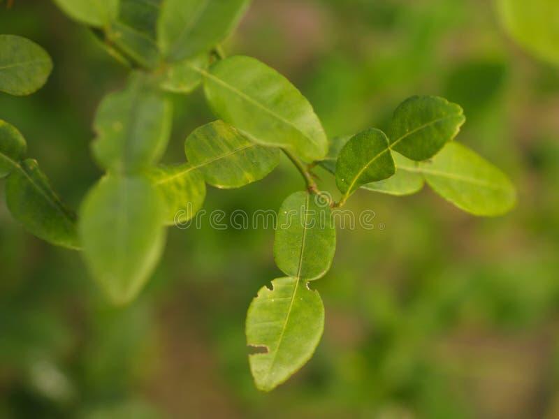 Fim acima da bergamota, da folha e do espinho da árvore em minha casa do campo Folha da bergamota, um do receipe para Tailândia E fotografia de stock