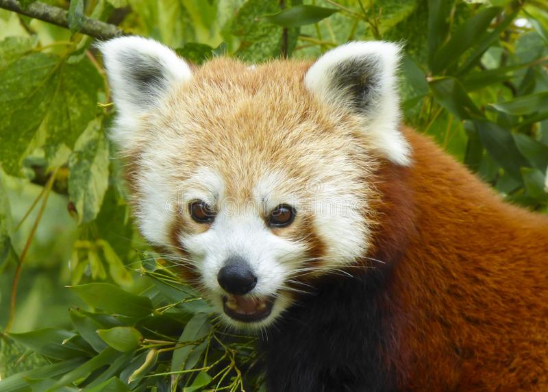 Fim acima da cabeça e dos ombros de fulgens vermelhos de Panda Ailurus foto de stock royalty free