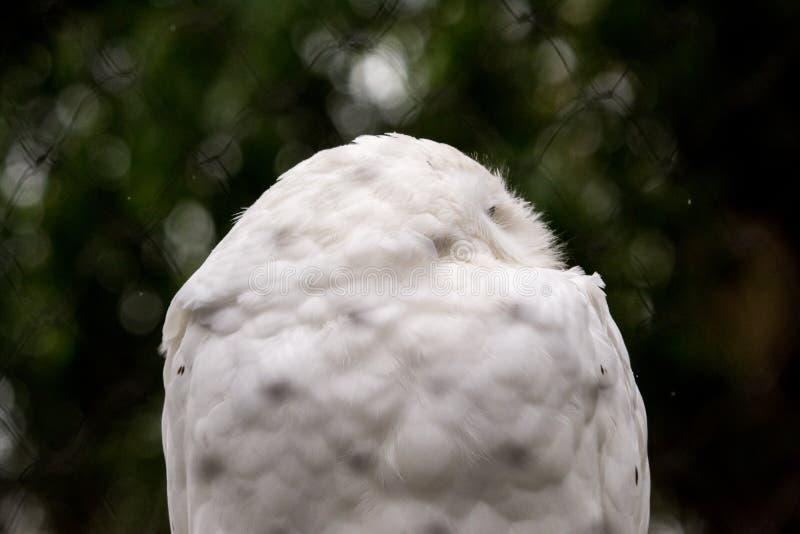 Fim acima da cara nevado masculina do scandiacus do bubão da coruja fotografia de stock