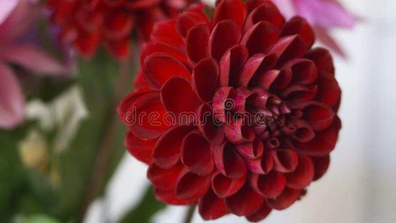 Fim acima da dália vermelha da flor no fundo do borrão fotos de stock
