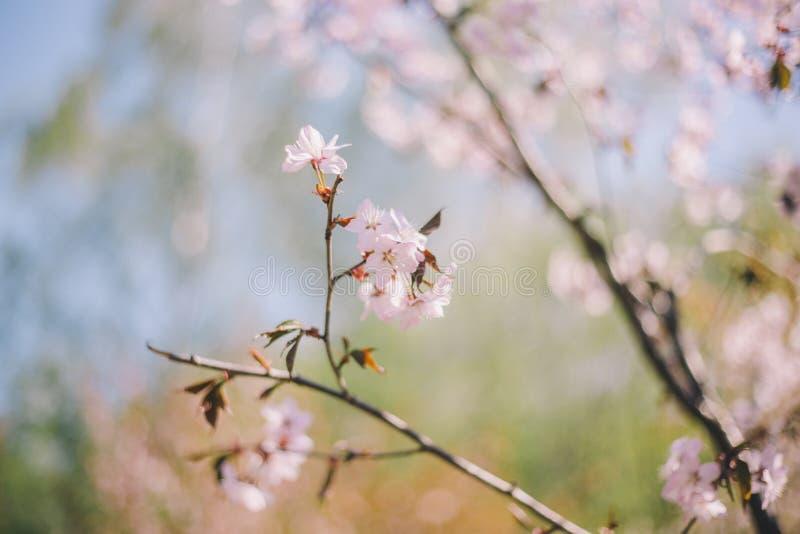 Fim acima da flor de sakura, da flor de cerejeira, da ?rvore de cereja em uma ?rvore verde borrada e do fundo do c?u azul imagem de stock royalty free