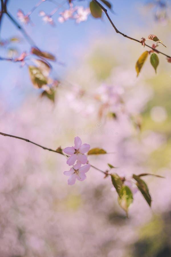Fim acima da flor de sakura, da flor de cerejeira, da ?rvore de cereja em uma ?rvore verde borrada e do fundo do c?u azul imagens de stock
