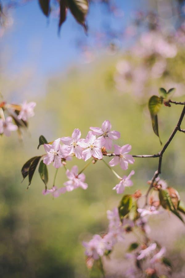 Fim acima da flor de sakura, da flor de cerejeira, da ?rvore de cereja em uma ?rvore verde borrada e do fundo do c?u azul imagem de stock