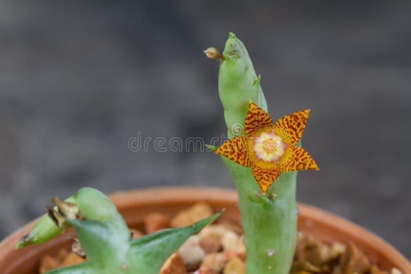 Fim acima da flor do cacto fotografia de stock royalty free