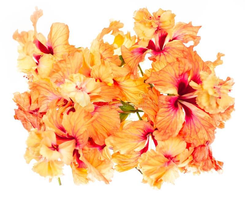 Fim acima da flor do hibiscus no foco macio Flor alaranjada coral do hibiscus, flor do hibiscus no fundo branco fotos de stock royalty free