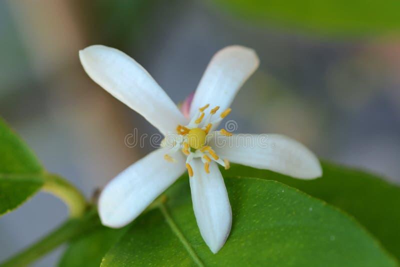 Fim acima da flor da flor do limão na árvore fotos de stock