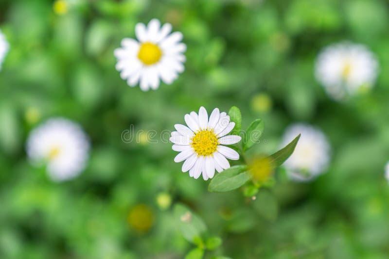 Fim acima da flor da margarida branca de vista superior imagem de stock