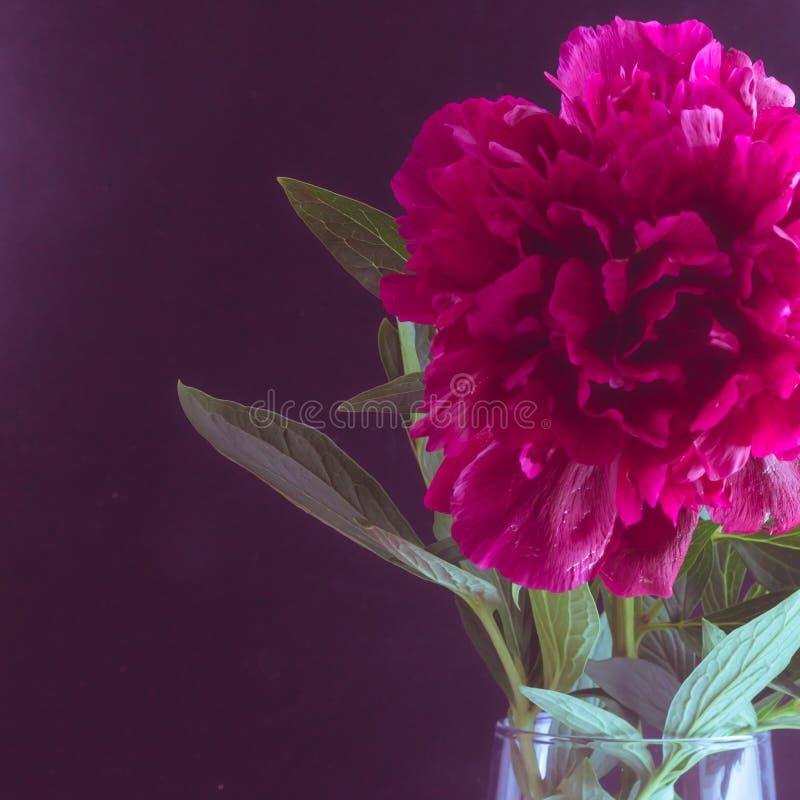 Fim acima da peônia de Borgonha em um vaso de vidro em um fundo preto Foto tonificada imagens de stock