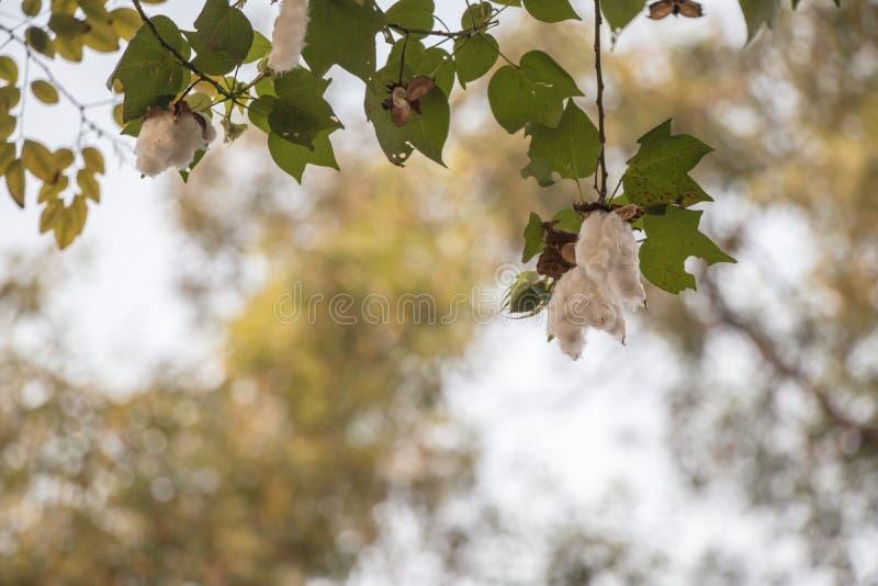 Fim acima da sumaúma ou da árvore branca de seda do algodão Vagens frescas do ceiba na árvore imagens de stock royalty free