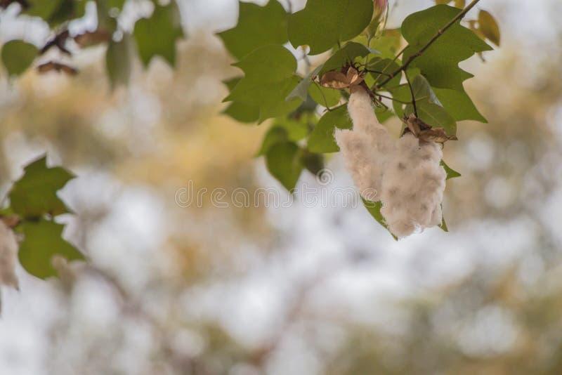 Fim acima da sumaúma ou da árvore branca de seda do algodão Vagens frescas do ceiba na árvore e fundo do bokeh imagem de stock royalty free