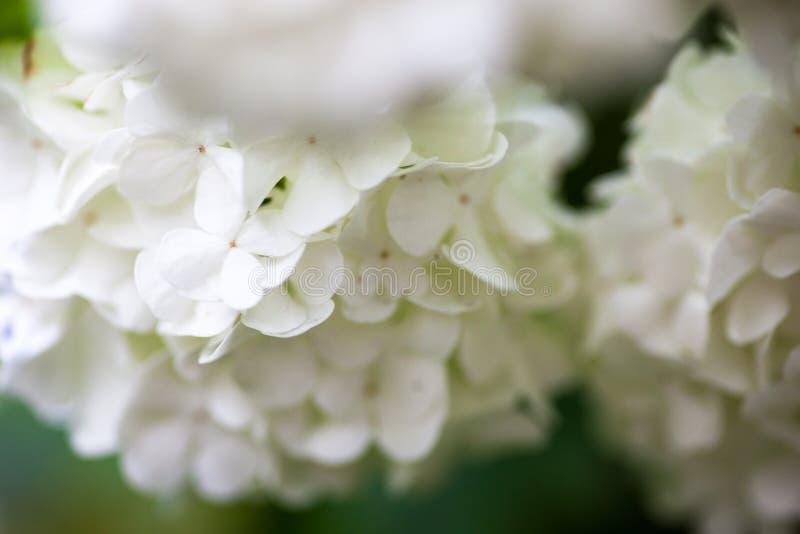 Fim acima das flores brancas da rosa do guelder imagem de stock