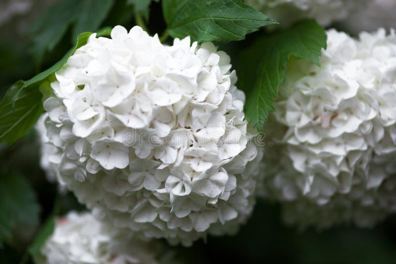 Fim acima das flores brancas da rosa do guelder imagens de stock royalty free