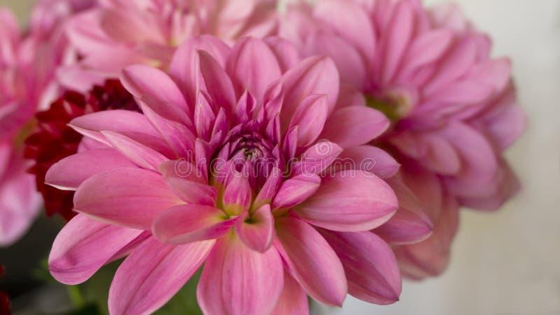 Fim acima das flores brilhantes cor-de-rosa da dália do outono fotos de stock