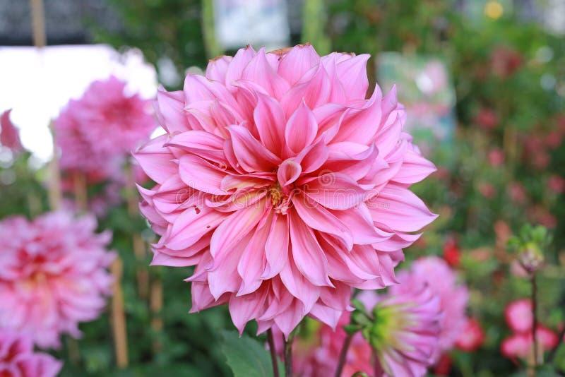 Fim acima das flores cor-de-rosa da dália no jardim foto de stock