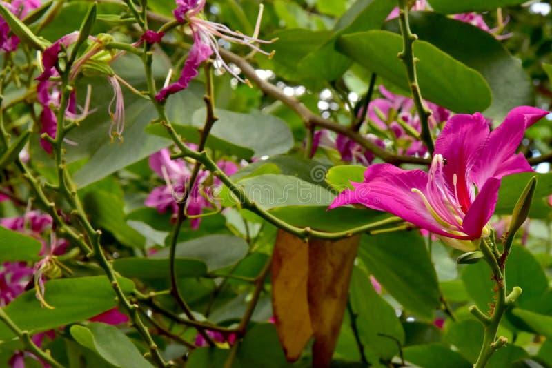 Fim acima das flores cor-de-rosa de florescência bonitas de Purpurea do Bauhinia imagens de stock royalty free