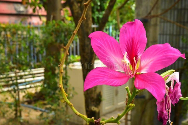 Fim acima das flores cor-de-rosa de florescência bonitas de Purpurea do Bauhinia imagens de stock