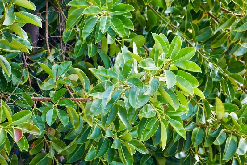 Fim acima das folhas doces da oliveira imagem de stock