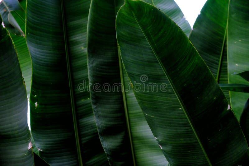 Fim acima das folhas tropicais da estação de tratamento de água que crescem no jardim botânico imagem de stock royalty free